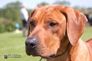 Junior Dog Kiromol kanukma